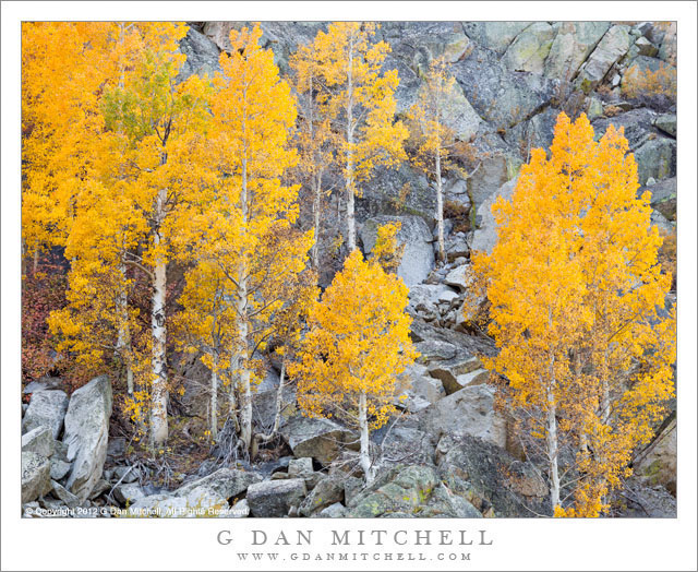 Autumn Aspen Trees, Boulder Field - Colorful golden autumn aspen trees among eastern Sierra boulders.