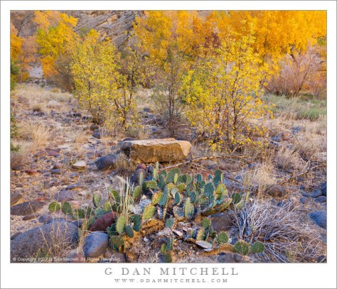 Cactus, Escalante Canyon, Fall - Cactus plants grow in front of brilliant fall colors along the Excalante River, Grand Staircase-Escalante National Monument