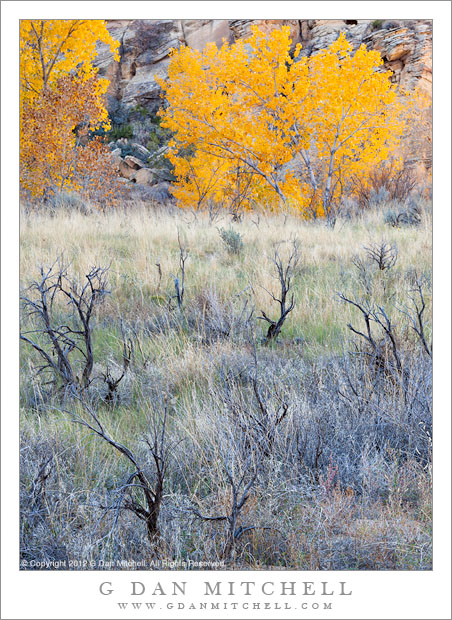 Cottonwoods, Meadow, and Stumps - Stumps of dead brush in a meadow with autumn cotton wood trees, Grand Staircase-Escalante National Monument