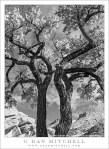 Old Cottonwood Trees, Autumn