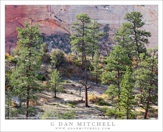 Pines and Sandstone Cliff - A sparse forest of pine trees in front of a towering sandstone cliff, Zion National Park