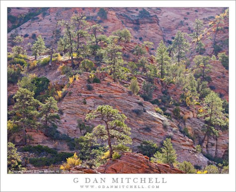 Trees and Red Rock, High Country - Backlit trees in a high country terrain of rugged red rock sandstone, Zion National Park