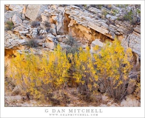Autumn Tamarisk - Tamarisk plants with autumn foliage on the banks of a desert stream, Grand Staircase-Escalante National Monument