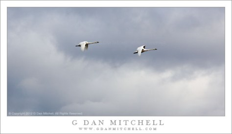 Two Trumpeter Swans in Flight