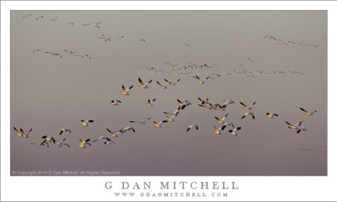 Ross's Geese, Evening Fly-Out