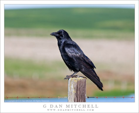 Raven on Fence Post