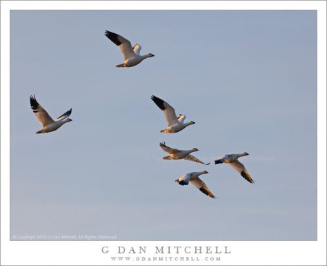 Six Ross's Geese in Flight