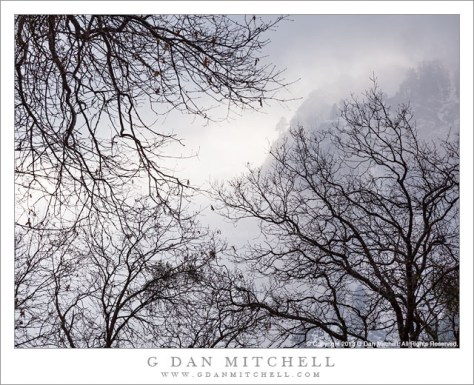 Winter Oaks, Morning Mist