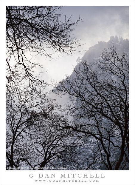 Dormant Oaks, Winter Mists