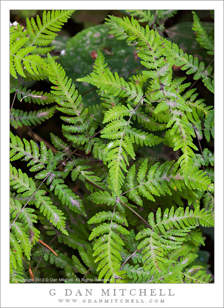 Ferns, Olympic Peninsula