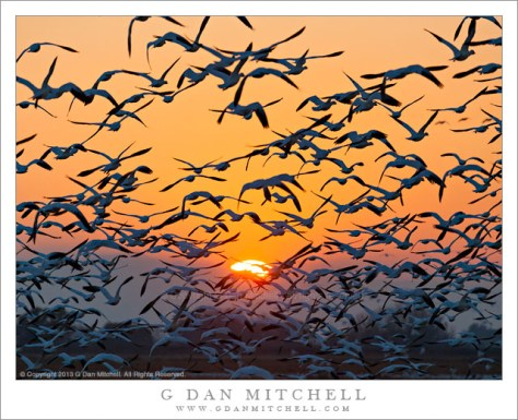 Geese, San Joaquin Valley Sunset