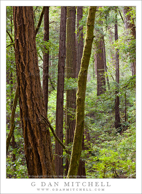 Redwood Forest, Spring