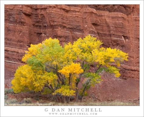 Autumn Cottonwood, Red Rock Strata