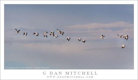 Ross's Geese, Evening Sky