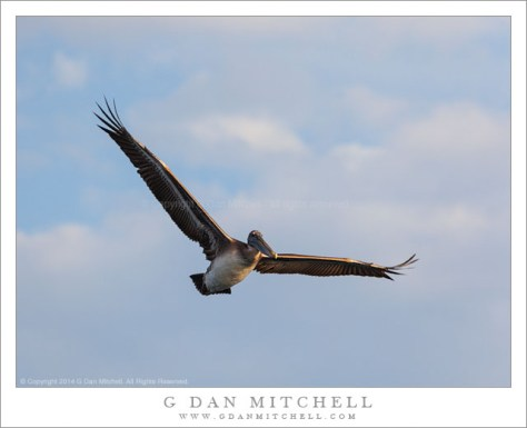 Brown Pelican in Flight, Blue Sky