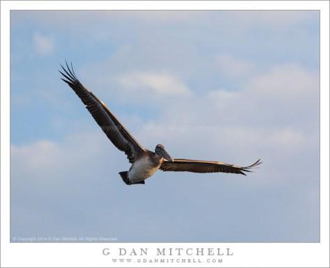 Brown Pelican in Flight, Blue Sky