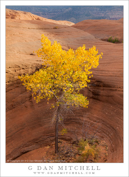 Cottonwood Tree, Sandstone Pothole