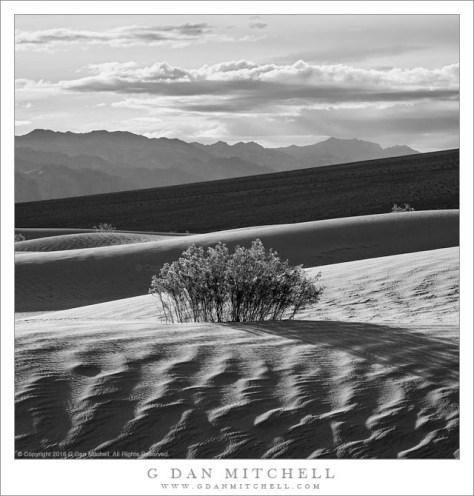 Creosote Bush, Dunes, Morning