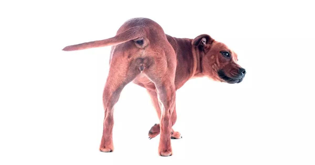 El Lenguaje de la Cola de los Perros y su Significado - Lenguaje Canino
