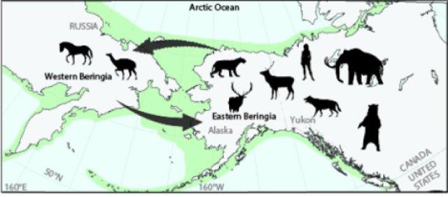 Schematic diagram of faunal exchange across Beringia (Bering Land Bridge) during the Pleistocene. Credit: Art credit Alycia Stigall