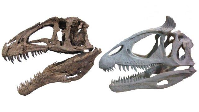 Theropod dinosaur skulls showing unornamented (Acrocanthosaurus NCMS 14345, left) and ornamented (Cryolophosaurus FMNH PR 1821, right) styles. Credit: Cryolophosaurus photo courtesy of Dr. Peter Makovicky, Acrocanthosaurus photo by Christophe Hendrickx