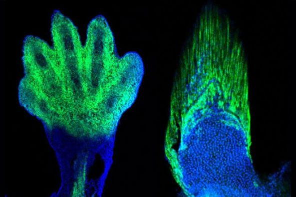 Our hand is from the fin of the fish. The transition from fin hand, however, did not occur suddenly. Credit: Andrew Gehrke and Marie Kmita