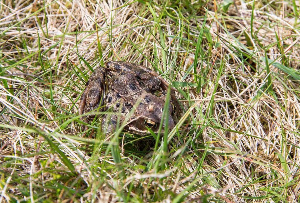 Wildlife-photography-Highland-toad