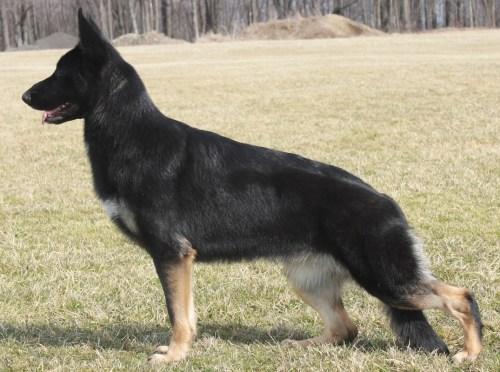 Medium Of Short Spine Dog