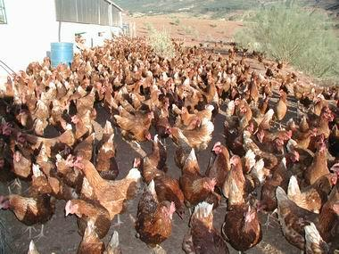 Con el descalcificador CALMIX las gallinas son más ecológicas