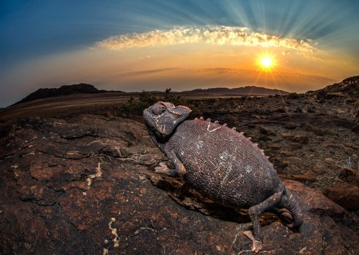 We were spending an evening camping in the Messum Crater in Namibia when I stumbled on a very well camouflaged, slow- moving chameleon. The sun was low on the horizon and I lay on my stomach as it slowly made its way over a large flat rock. I used my flash to balance the exposure of the dark chameleon and bright sky. - By Geoff Spiby, Hout Bay. Nikon D7100, Nikkor 10.5 mm f/2.8,ISO 200, f/22, 1/60 sec.