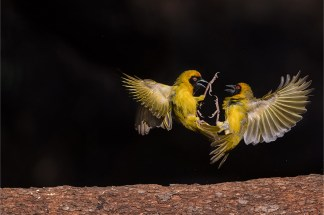 I realized there were some interesting bird interactions going on amongst the birds in my garden, so I set out to capture some of it. The ideal spot to capture the action was under a tree, lit by late sunlight. The background was an open space leading into shadowed bush, causing the background to fall into darkness. In this image, two male Southern masked weavers fight to establish domination. - By Willem Kruger, Bloemfontein. Nikon D4, Nikkor 600mm f/4, ISO 1250, f/8, 1/6400 sec.