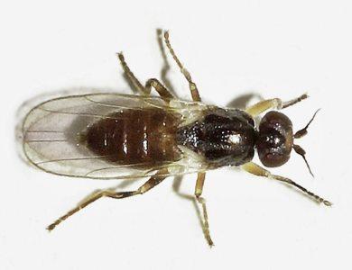 eye-gnat