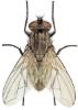 house-fly-lifespan