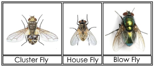 clusterfly-vs-housefly-vs-blowfly