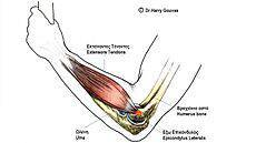 230px-Tennis_Elbow_Anatomy