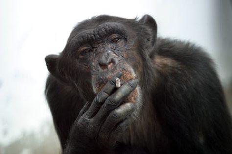 monkey-smoking-i6865