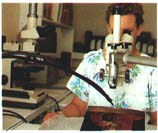 Dendrochronology dating (Mrs Yvonne Trenard). Measuring annual growth rings on an oak panel with the aid of a binocular loupe and an automatic placement table linked to a computer. Photo G. P. Lab.