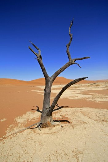 Kameldornbaum im Dead Vlei