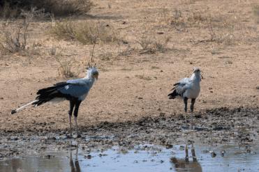 Zwei Sekretärsvögel, Kgalagadi