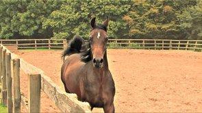 Documentary Arabian Colt 2013, Nasar Alenaya, Silverdale Arabians, England