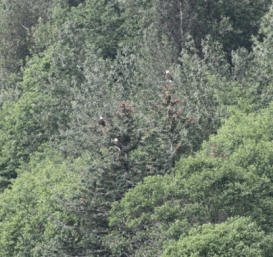 A group of eagles