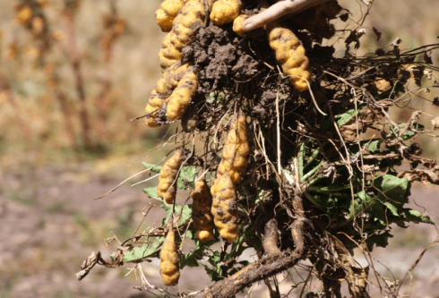 Some potatoes attached to the roots