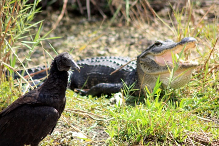 Alligator Floride