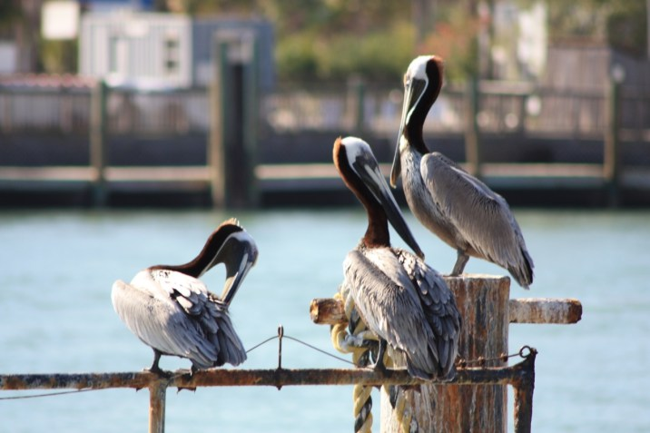 Pélicans Floride