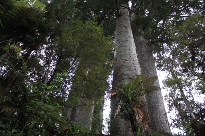 Kauri - Coromandel