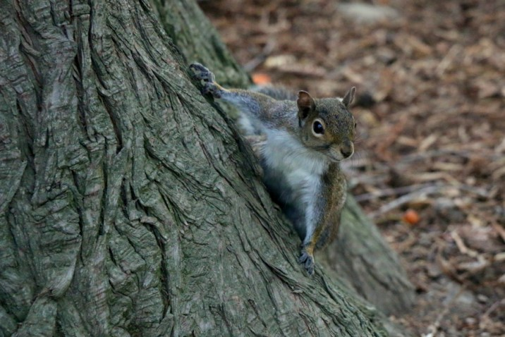 Écureuil du parc du Capitole
