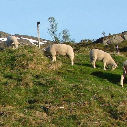 Rodeo: Rounding up Sheep and Links