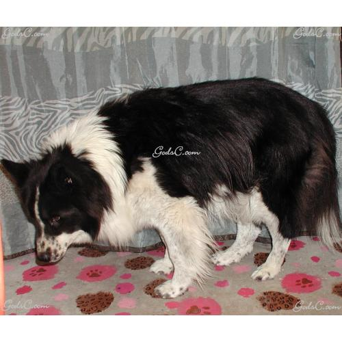 Medium Crop Of Border Collie Corgi Mix