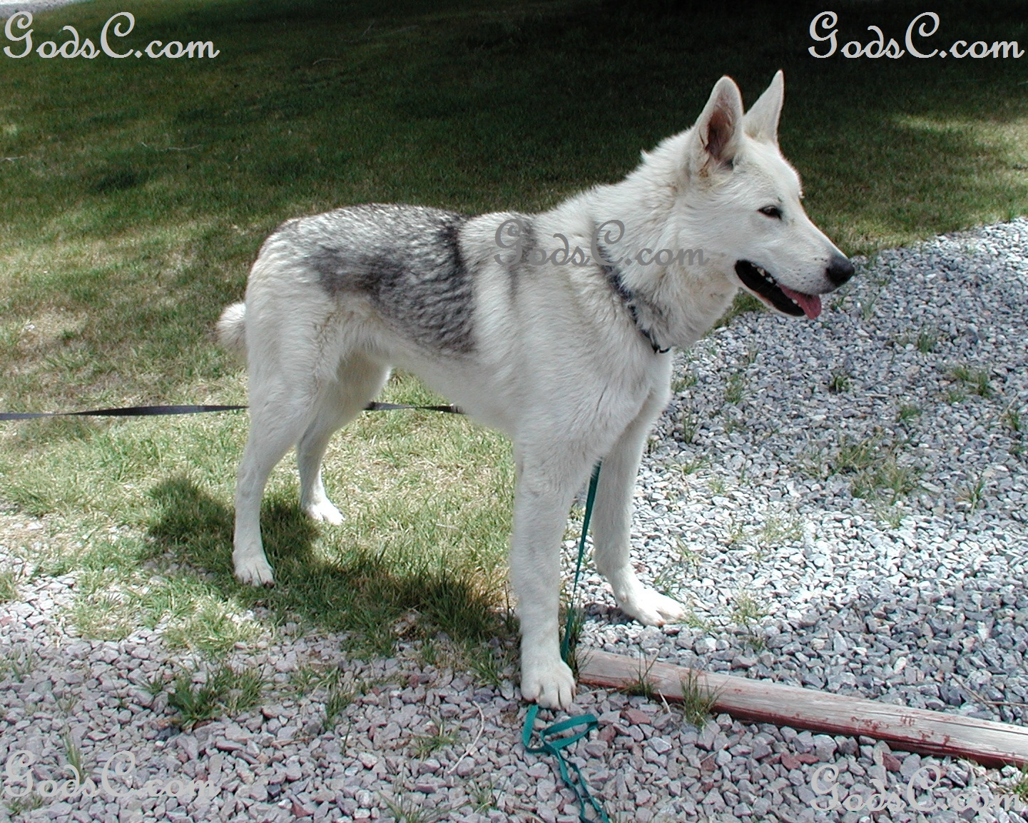 Awesome Rescued German Shepherd Siberian Husky Mix Rescued Animals Creatures Coyote Dog Mix Personality Coyote Hound Dog Mix bark post Coyote Dog Mix