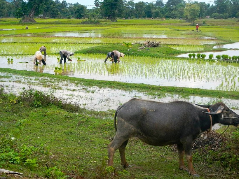 Workers planting seeds in the rice fields after the monsoon rains.